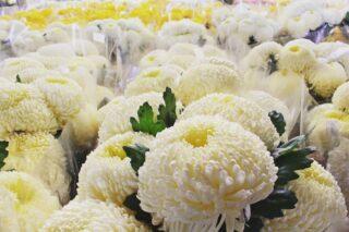 Przy poniedziałku nasza hala wypełniła się polskimi chryzantemami. 💚 #chryzantemy #chryzantema #kwiatycięte #swidnica #walbrzych #swiebodzice #dzierżoniów #zaduma #1listopada #świętozmarłych #wszystkichświętych #wszystkichswietych #nagrobne #florystykażałobna #kwiaty #florystyka #październik #listopad #flowers