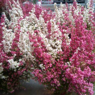 Zachwycająco urocze dwukolorowe wrzośce ponownie w sprzedaży. 😍 Zapraszamy 👍 #wrzesień #wrzosiec #wrzos #jesień #kwiatysapiekne #kwiaty #florystyka #hurtowniaflorystyczna #różowobiałe #ogrod #kwiatydoniczkowe