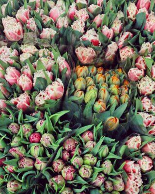 Tulipany w listopadzie? U nas wszystko możliwe. 💪🤩😍🌷🌷🌷 #tulipany #tulips #kwiatycięte #kwiaty #flowers #flowersarebeautiful #flowerstagram #kwiatyswidnica #kwiatyświeże #kwiatycięte #bukiet #swiebodzice #swidnica #walbrzych #kłodzko #wiosna #jesien #hurtowniaflorystyczna #hurtownia #kochamykwiaty #natura