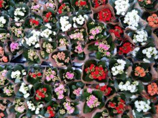 Bajeczna tęcza kolorów Kalanchoe - popularnej rośliny doniczkowej, idealnej na prezent 😍🎁 #kalanchoe #rosliny #rośliny #roslinydoniczkowe #plant #plants #plantslovers #kolory #kolorowo #kwiaty #kwiatysapiekne #kwiatydoniczkowe #flowers #flowersarebeautiful #prezent #żywyprezent #kwiatyswidnica #kwiatyswiebodzice #hurtowniaflorystyczna #hurtownia