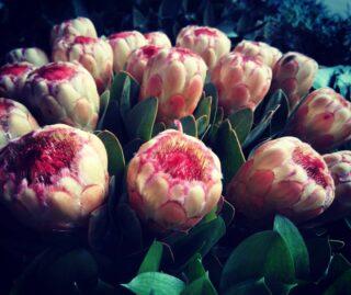 Egzotyczna protea - królewska roślina z charakterystycznym puszkiem na kwiatach 💚 Uwielbiamy 💚 #protea #proteaflower #proteas #krolewska #rosliny #roslina #roslinaegzotyczna #rośliny #flower #kwiaty #kwiatycięte #kwiatyswidnica #swiebodzice #swidnica #walbrzych #klodzko #jeleniagora #hurtowniaflorystyczna #hurtownia #bukiet #kwiatysapiekne #kochamykwiaty #loveflowers #puszek#oryginalne #egzotyka #egzotycznerośliny #egzotic