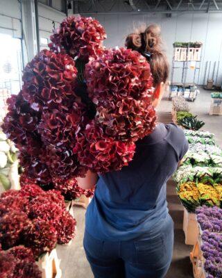 Jak się Wam podoba hortensja w takim kolorze? Poczuliście już jesień? 🍂🍁🏵️ #dostawakwiatów #dostawa #hurtownia #hurtowniaflorystyczna #florysta #florystyka #jesień #kwiaty #kwiatysapiekne #kwiatysąpiękne #kwiatyswidnica #hortensja #hortensje #hortensia #hortensias #kochamykwiaty #bukiet #oryginal #unikat