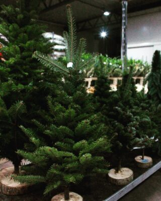 Zazieleniło się w naszej hurtowni.🌲🌲🌲💚💚💚 #choinki #choinka #choinka🎄 #tree #iglak #iglaste #merrychristmas #hurtowniaflorystyczna #dostawa #dostawakwiatów #christmastime #christmastree #swietabozegonarodzenia #swieta #christmasiscoming #zieleń #zielono #las #mikołajki
